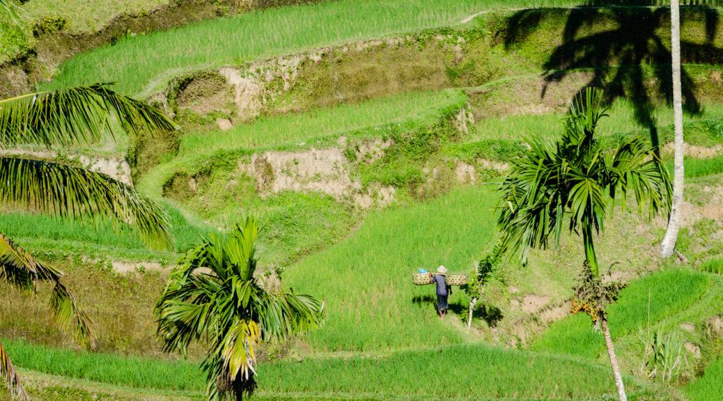 Bali ryžové políčka
