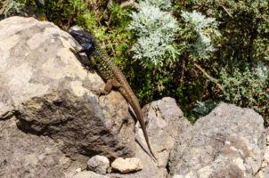 Jašteričky rôznych druhov sú na Tenerife veľmi rozšírené.