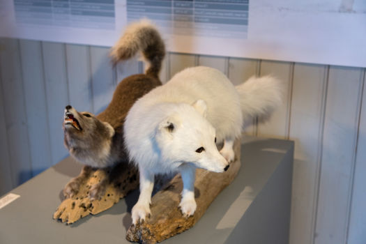 Polárne líšky, 2 druhy farby srsti