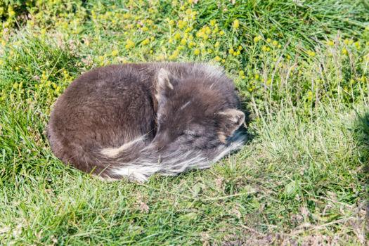 Polárna líška